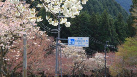 【多可町】八重桜の名所「下島さくら公園」加美区山寄上