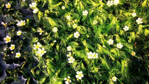 【神河町】梅花藻(バイカモ)、例年より早く見頃に|ホテルモンテローザ