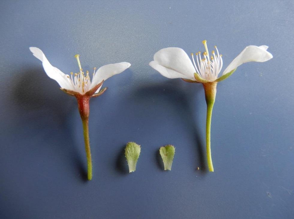 【手柄ザクラ】手柄山中央公園の珍しい桜が新しい園芸品種として認定