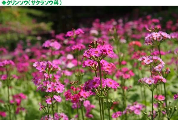 【ピンク色の絨毯】重なり広がる6,000株のクリンソウが見ごろ|六甲高山植物園