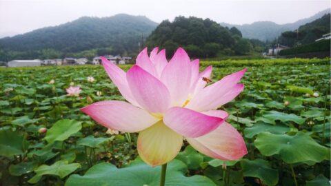 ヤマサ 蓮の花苑