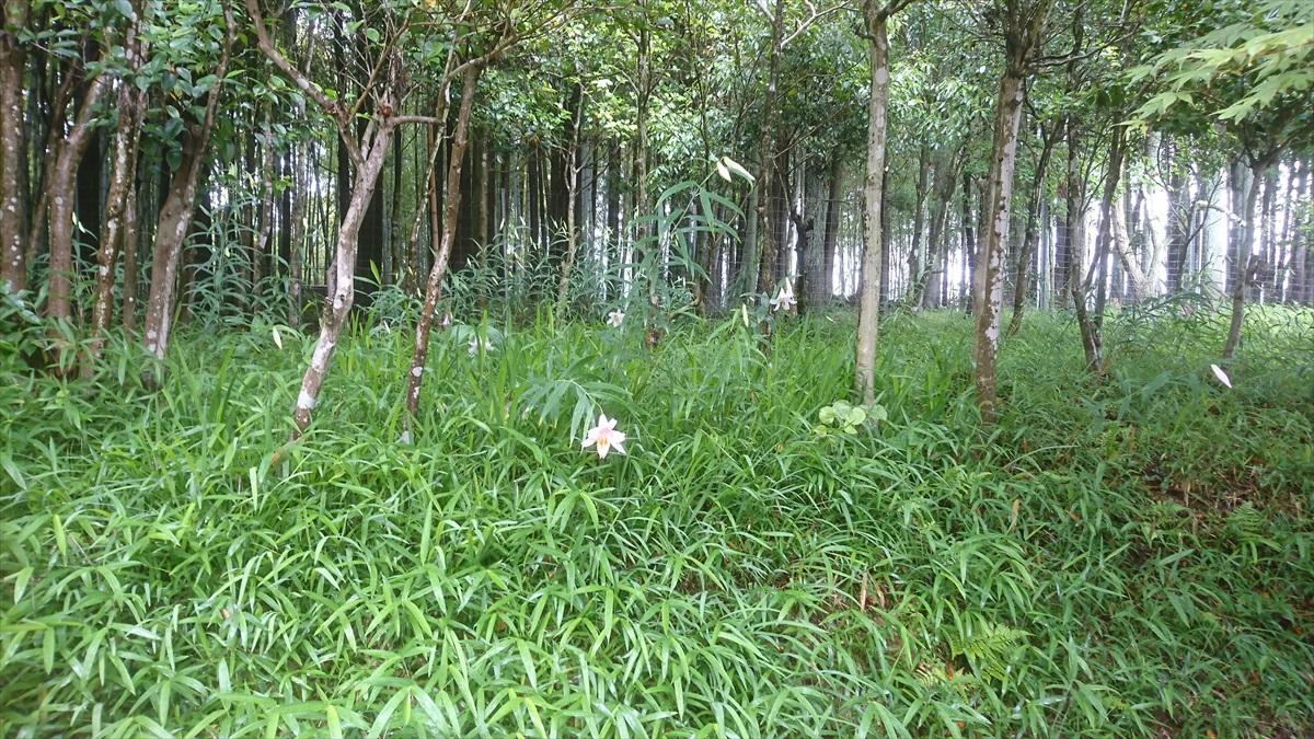 【福崎町】医王寺の3色、1000株のササユリが咲き始め