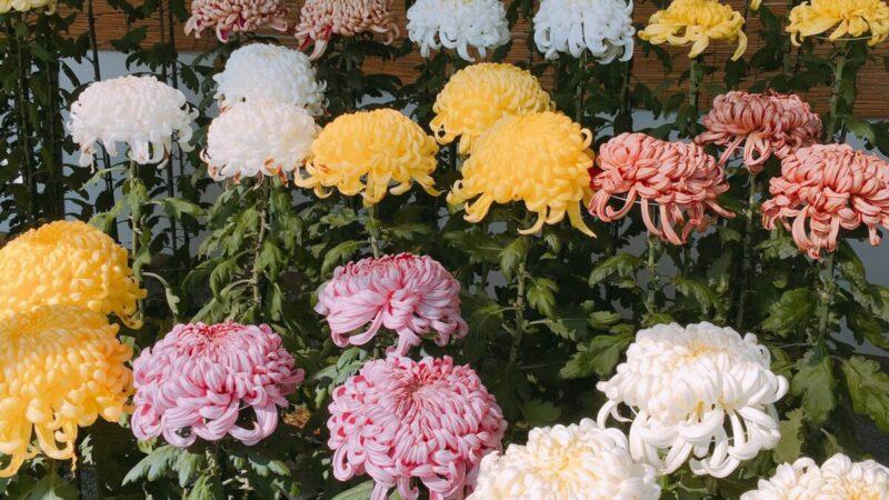 【姫路市】2021年「姫路城菊花展」の開催中止