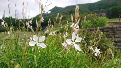 初夏から次々と花を咲かせ、長く楽しませてくれるガウラ(白蝶草)