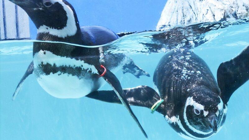 【ペンギン好き必見】ペンギン好きのためのファンクラブ「すみだペンギンファンクラブ」が開設