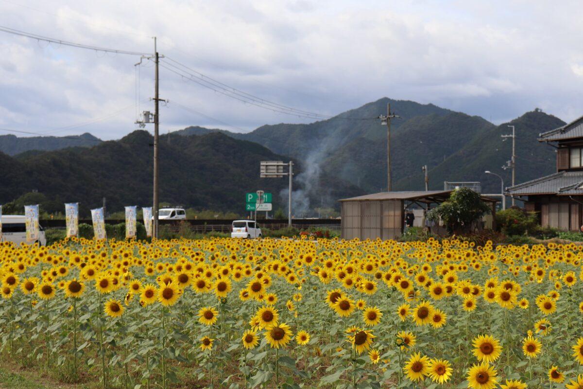 【市川町】浅野のひまわり畑が見ごろ