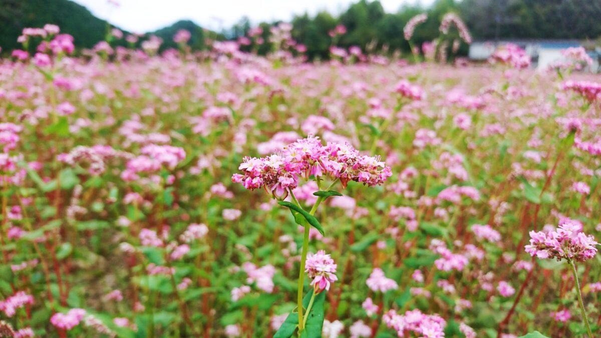 【姫路市】赤ソバの可憐な花が見ごろ。恒屋を彩る花畑|香寺町